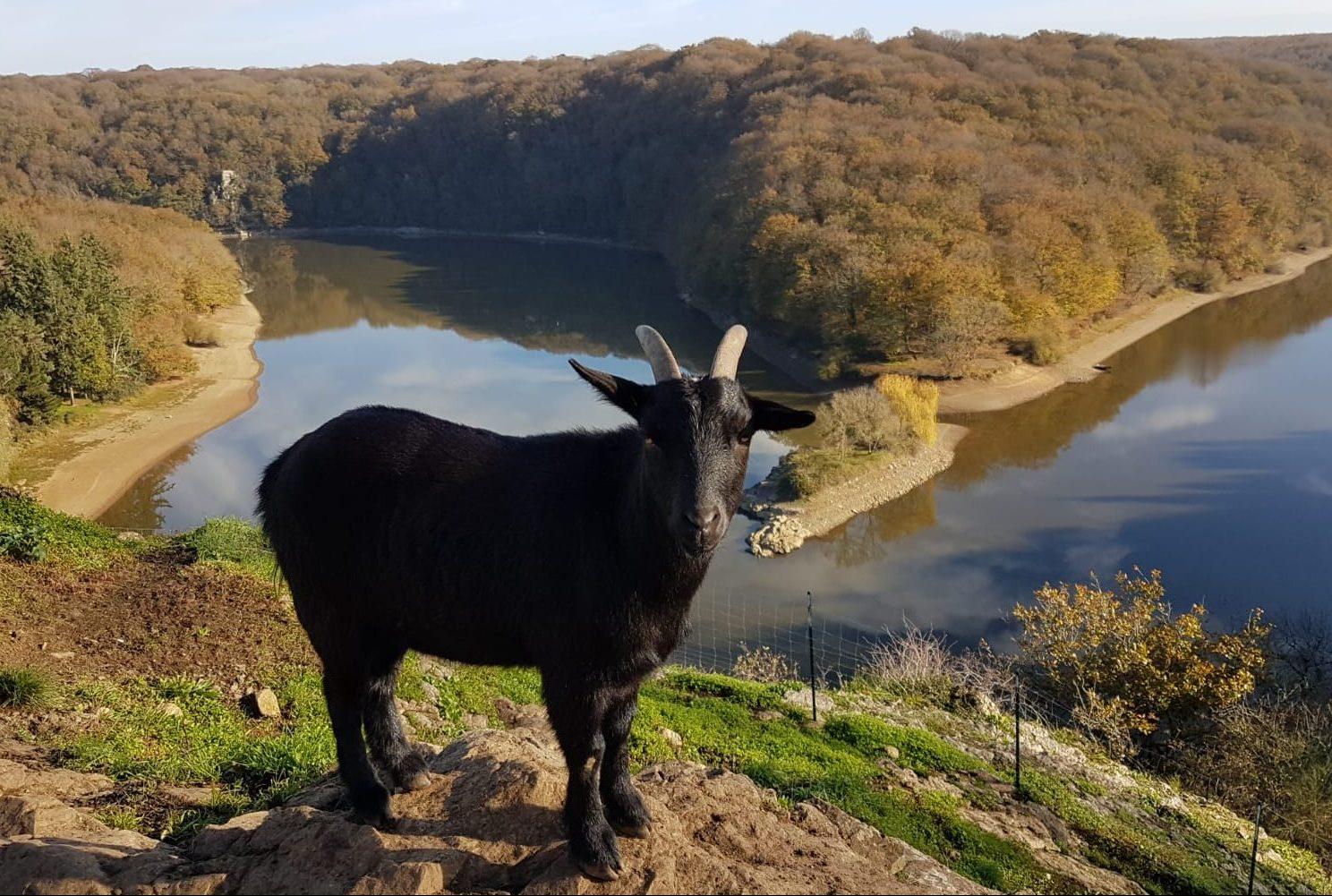 Chèvre dans le parc du château à Mervent Vendée