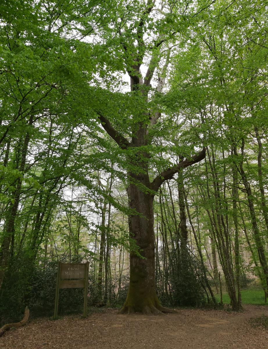 Chêne marinier, arbre remarquable à Mervent